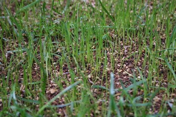 種まき6日目の発芽の様子