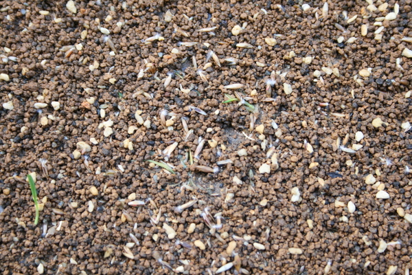 露出した西洋芝の種
