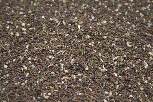 西洋芝の発芽(種まきから6日目)2
