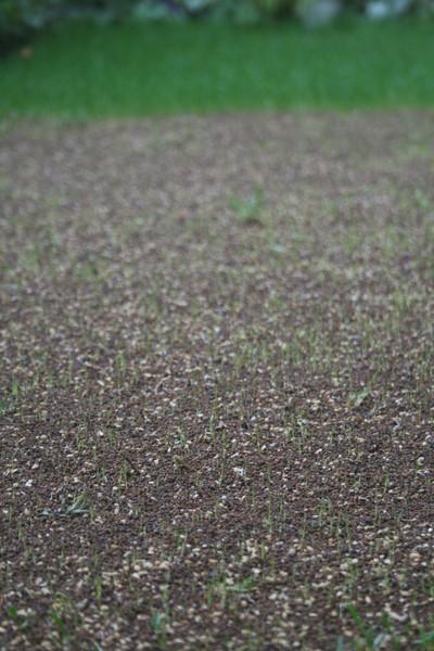 西洋芝の発芽(種まきから6日目)1