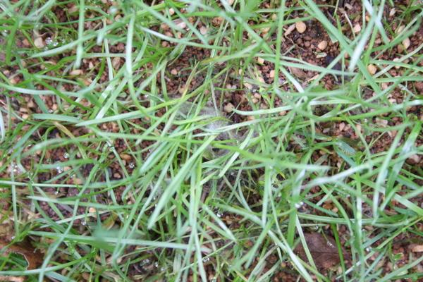 芝に病気発生3