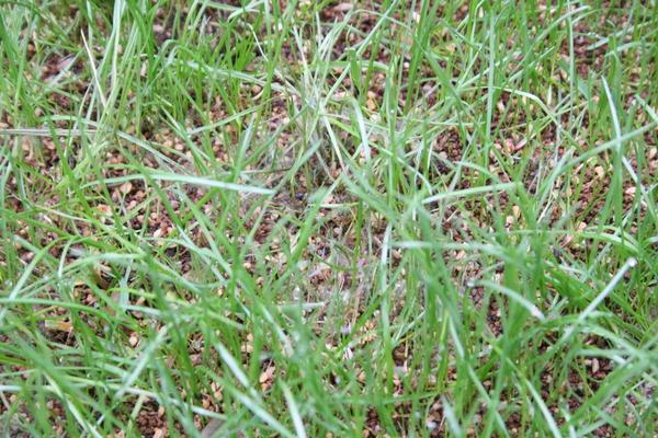 芝に病気発生4