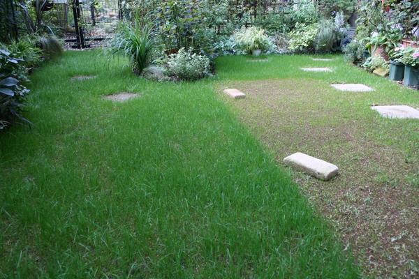 種まき開始から14日目の西洋芝2