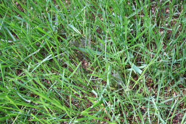 芝に病気発生1