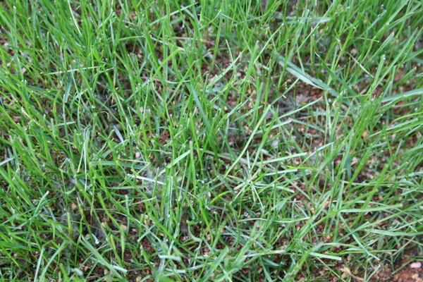 芝に病気発生2