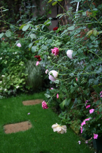 花首を垂らしたバラ