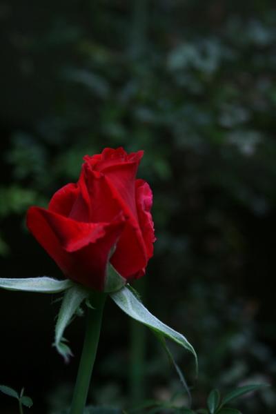 切花再生バラ2