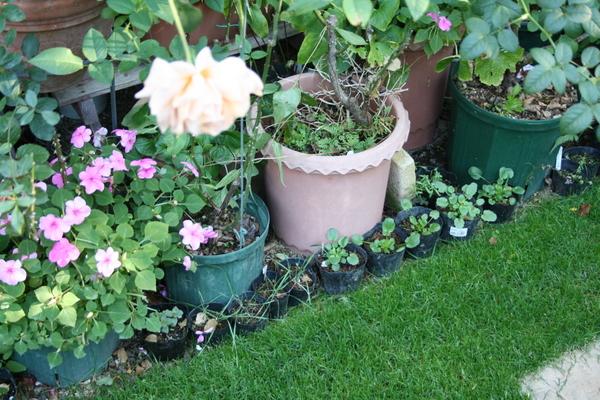芝庭脇の種まき苗