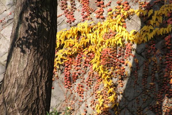 つる草の紅葉