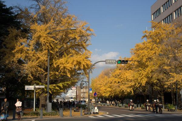 日本大通りのイチョウ並木