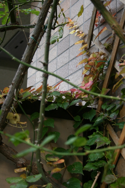 黄金葉キヅタ2