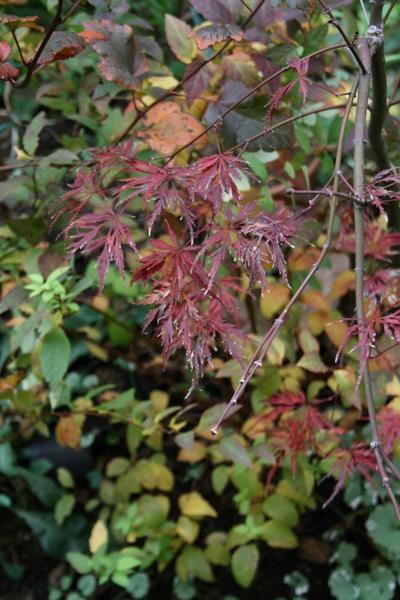 庭の紅葉その2