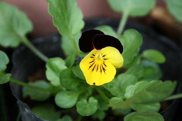 自家採種ビオラが初開花
