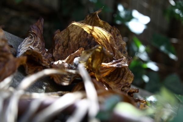 ギボウシ・ハルシオンの枯れ葉