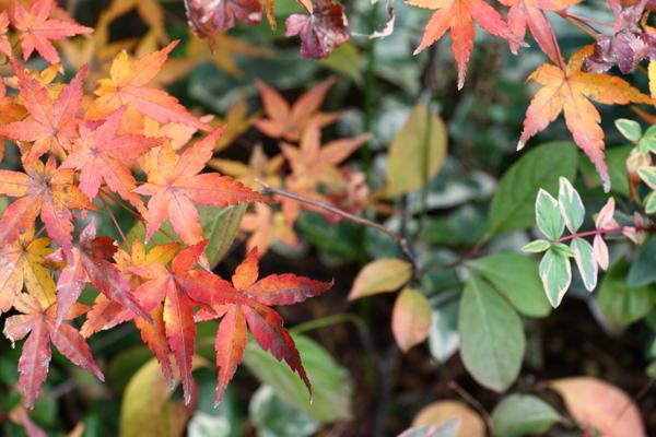 もみじ「桂」の紅葉