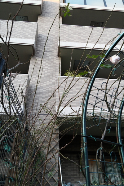 剪定後のフェンスのつるバラ