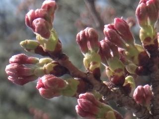 桜もう少し