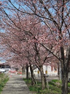 桜20419