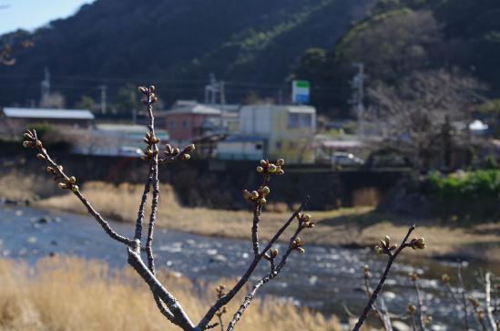 河津桜まつり 1
