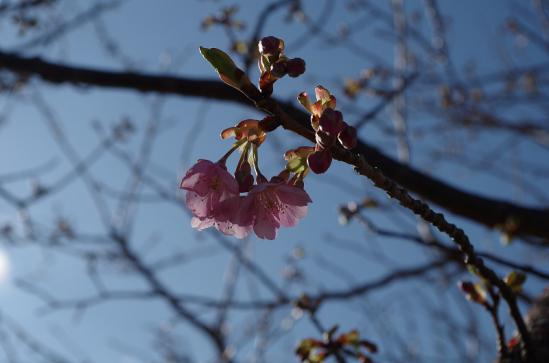 河津桜まつり 4