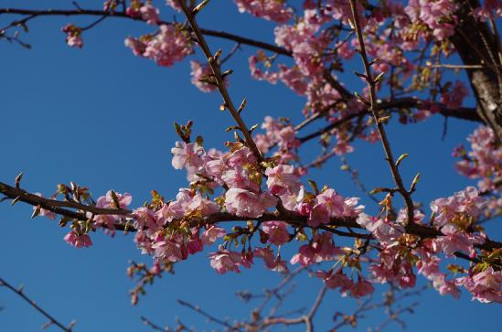 河津桜まつり 6