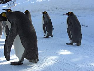 2010 2/11 ペンギンの散歩2