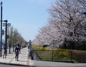 桜12県大