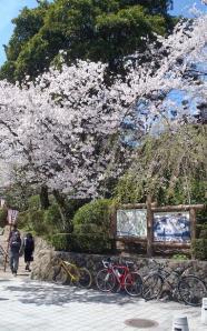 桜16丸岡