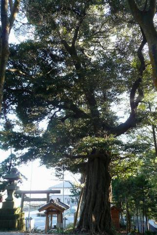 巨大な市指定天然記念物のスダジイ