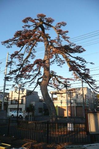 北宿並木一本松