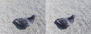 逃げずに寄ってくる鳩
