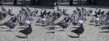ポッポっぽー鳩ポッポー