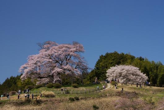 醍醐桜ー5