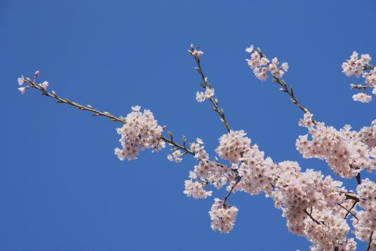醍醐桜ー4