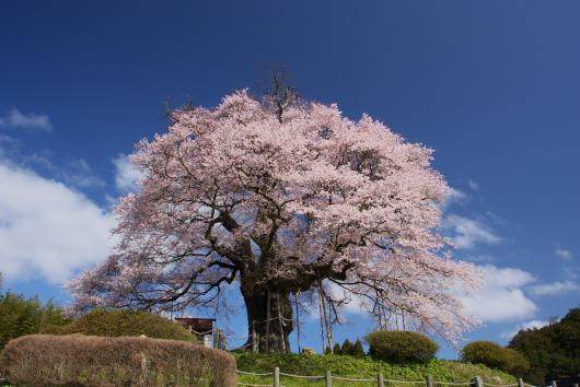 醍醐桜ー3