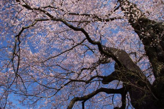 醍醐桜ー2