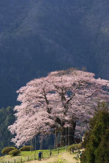 醍醐桜ー1