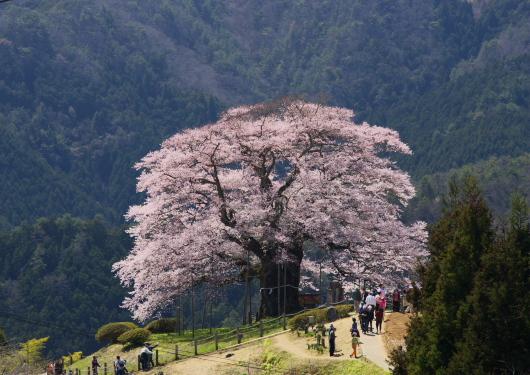 醍醐桜ー8