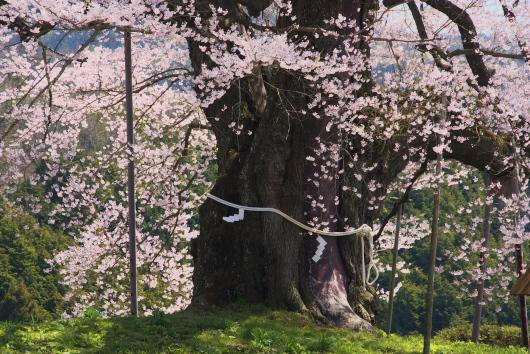 醍醐桜ー7