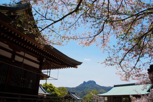 桜八幡ー2