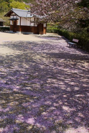 桜八幡ー1
