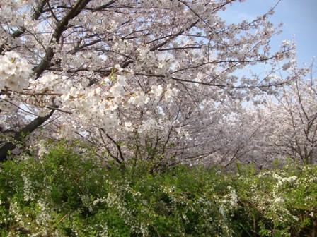 201104花見 (11)