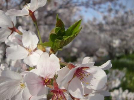 201104花見 (10)