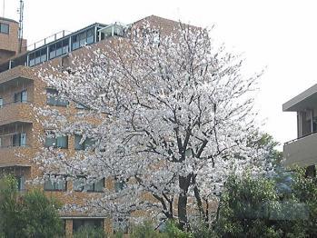 窓の外の桜