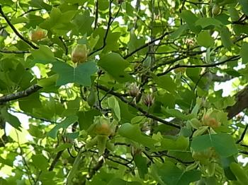 ユリの木 咲く