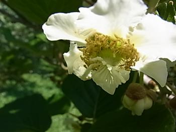 キューイの花 大