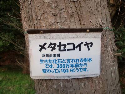s-メタセコイア (2)