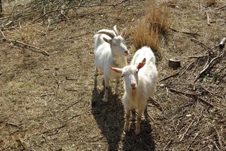 四十八瀬川自然村のヤギ