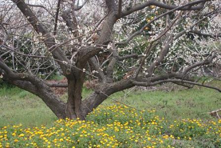 黄色い花と梅