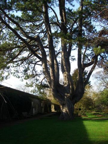 cheshire tree